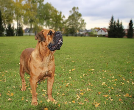 boerboel dog: Boerboel guards at the house in the garden