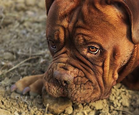 dogue de bordeaux: Dogue de Bordeaux out in nature on the field