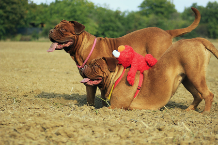 bordeaux mastiff: Bordeaux mastiff outside the field. Playing with soft toy