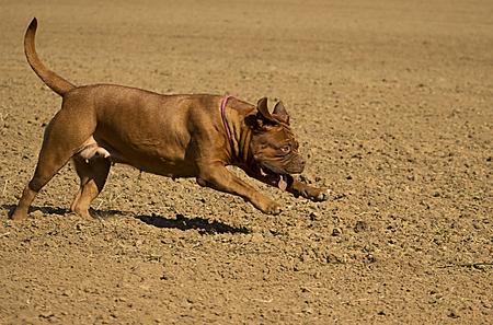 dogue de bordeaux: Running Dogue de Bordeaux outdoors in field