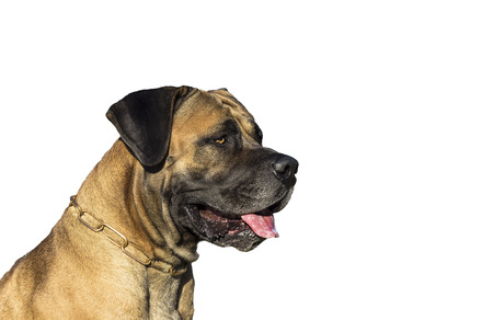 boerboel dog: Big Dog Boerboel. White background. Stock Photo
