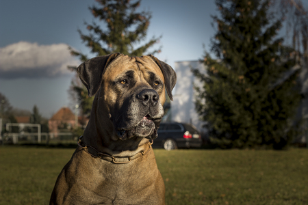 boerboel dog: Big Dog Boerboel. Outside the background. Stock Photo