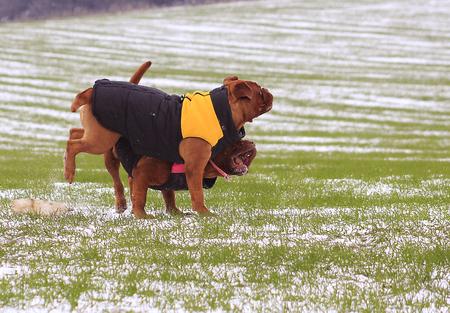 dogue de bordeaux: Dogue de Bordeaux in the vest. Playing in the snow Stock Photo