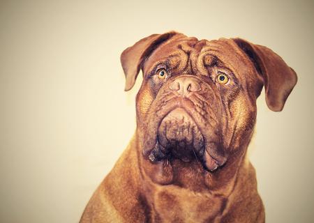 dogue: Dogue de Bordeaux head. Eighteen months. Red.