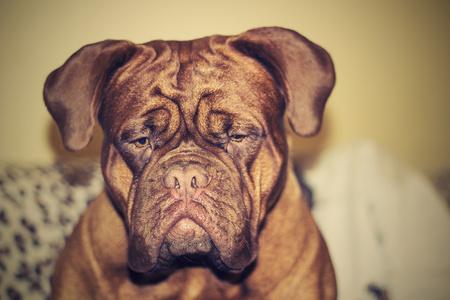 dogue de bordeaux: Dogue de Bordeaux head. Eighteen months. Red.