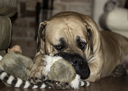 boerboel dog: South African Boerboel. Big dog. Playing with soft toy