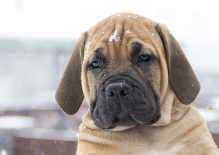 boerboel dog: South African Boerboel puppy. Moloss. Big dog