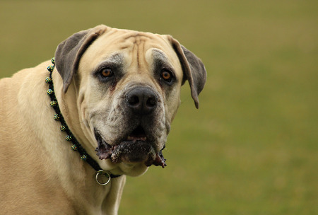 boerboel dog: Boerboel. South African Bulldog. Older dog.