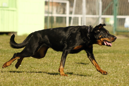large dog: Running Beauceron. Movement of large dog Stock Photo