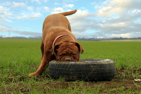 dogue de bordeaux: Big Dog, Dogue de Bordeaux. Playing outdoors Stock Photo