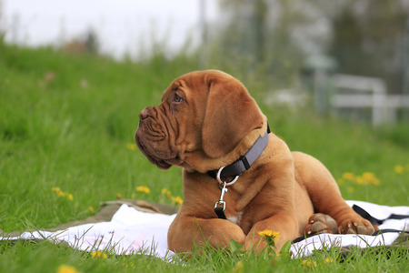 dogue: Dogue de Bordeaux - French Mastiff - Big dog puppy