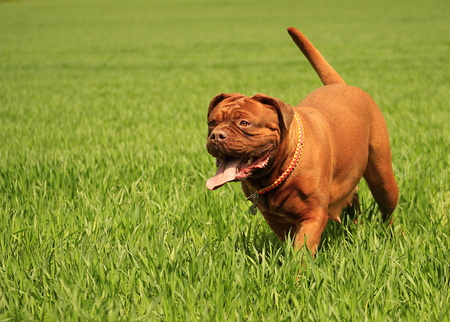 mastiff: Dogue de Bordeaux - French Mastiff - Big dog puppy