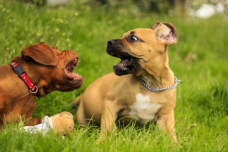 boerboel dog: Boerboel a Dogue de Bordeaux puppy - Playing on grass Stock Photo