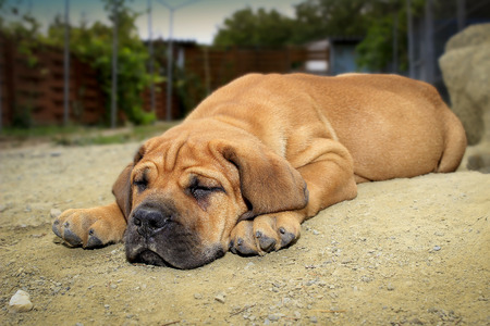 boerboel dog: South African Boerboel - Puppy - Sleeping in the sand
