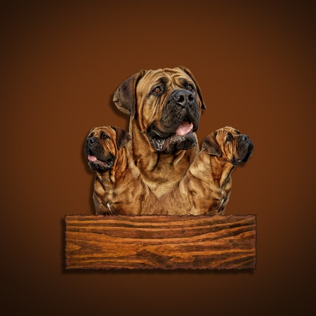 boerboel dog: Boerboel - Head portrait - South African bulldog