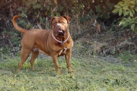 French Mastiff Dogue de Bordeaux - Big Dog