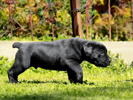 Boerboel Stock Photos And Images - 123RF