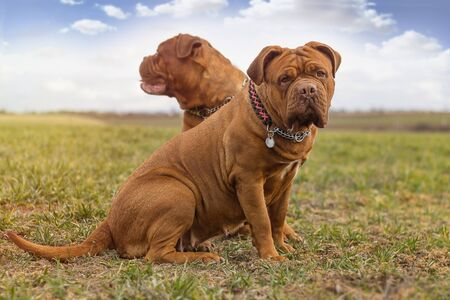 Big dog. Dogue de Bordeaux. French Mastiff. Red or black mask.