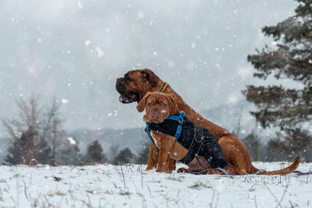 french Mastiff. Bordeaux dog. Big dog playg. Winter and snow.