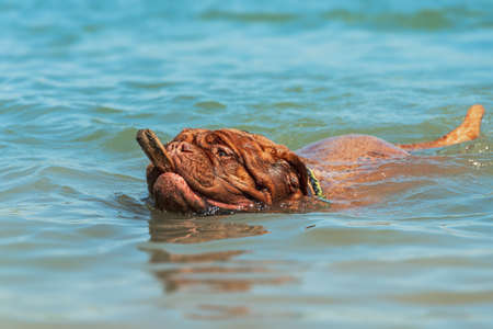 Big dog. French Mastiff in the water. Summer and swimming
