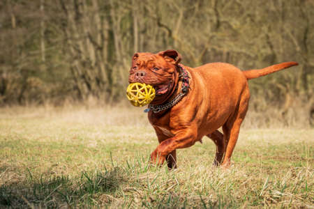 Big dog French mastiff. Balloon game in the meadow