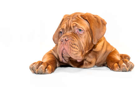 French Mastiff puppy. Four months. Portrait on a white background 版權商用圖片