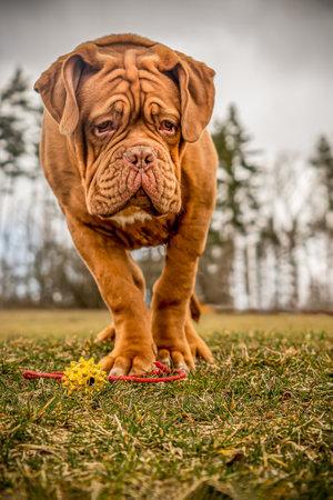 French Mastiff puppy. Five months. Portrait