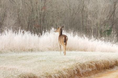 Doe in frosty field