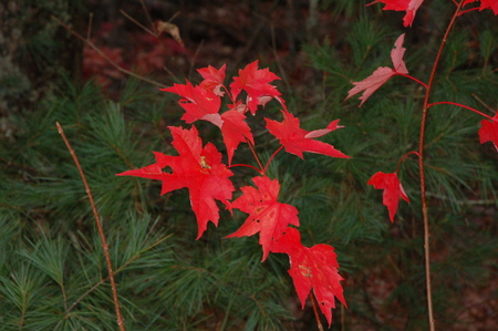 RED FALL MAPLE LEAVES 写真素材