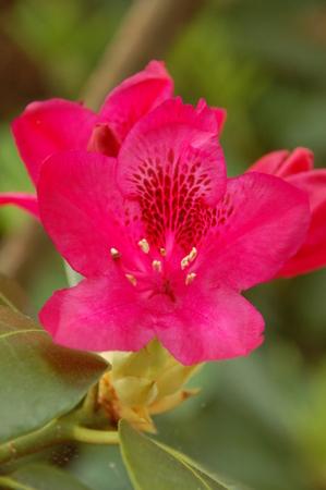 bright red rhododendron 版權商用圖片