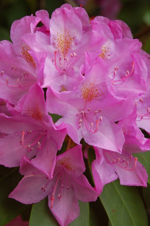 a pink rhododendron 版權商用圖片