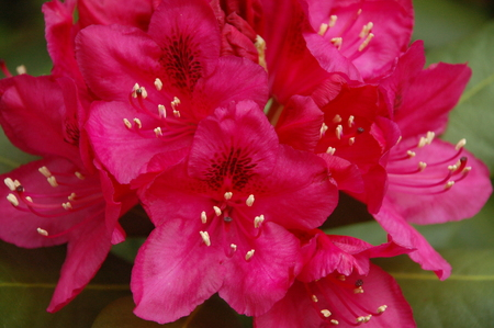 a bunch of red rhododendron