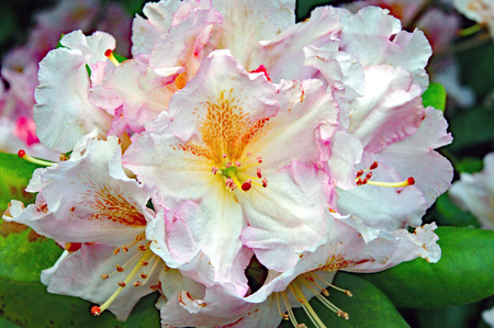 a white and pink rhododendron