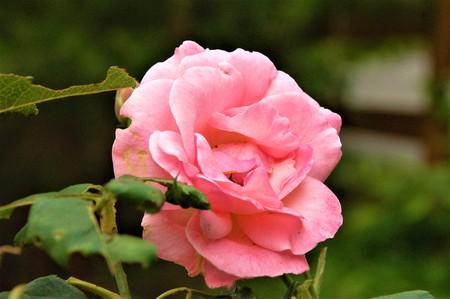 a single pink rose 版權商用圖片 - 101098733