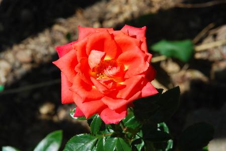 red and orange rose 版權商用圖片