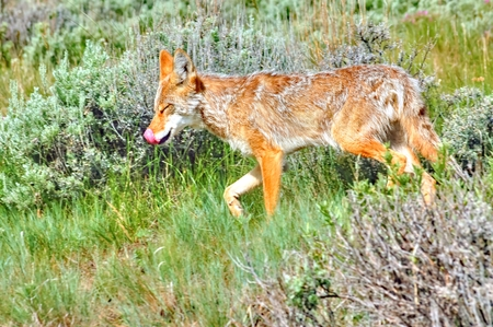 COYOTE PROWLING FOR FOOD Stock Photo - 101416859