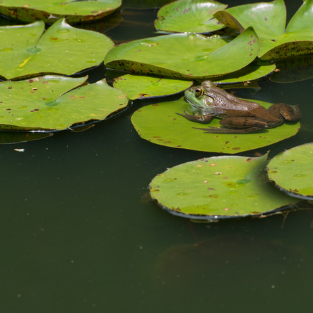 Mr. Froggy on a lily pad