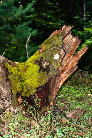 The old stump Фото со стока