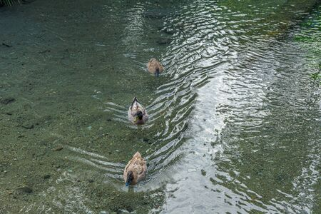 Picturesque view of three ducks swimming in famous Riofrio. Granada. Spain.