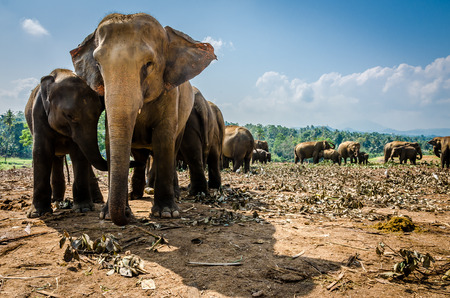 Pinnawala Elephant Orphanage is an orphanage, nursery and captive breeding ground for wild Asian elephants located at Pinnawala village.