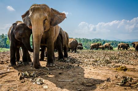 Pinnawala Elephant Orphanage is een weeshuis, kinderdagverblijf en captive voedingsbodem voor wilde Aziatische olifanten zich op Pinnawala dorp.