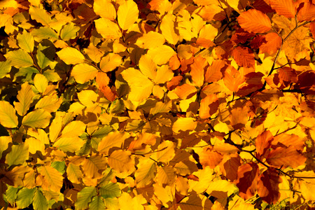 background texture: Colorful background of autumn leaves on the tree.