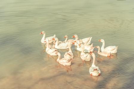 Eenden in het water Stockfoto