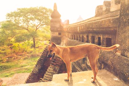 Verdwaalde hond in de tempel.