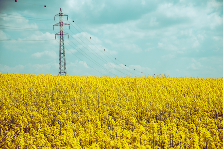 Power line in rape field. Electricity pylons and spring blue sky in background.