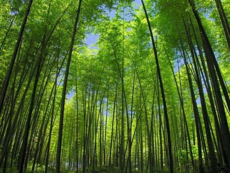 guadua: bamb� Foto de archivo