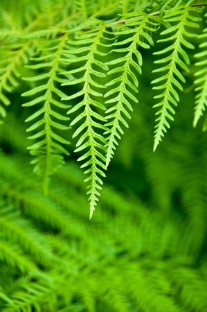 Fern leave close up as a background for text or advertising