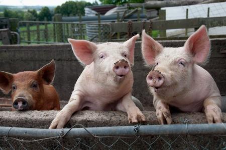 cerdos: Los cerdos Foto de archivo