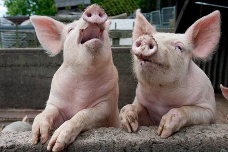 sty: Talking pigs