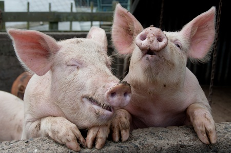 trotters: Laughing pigs Stock Photo